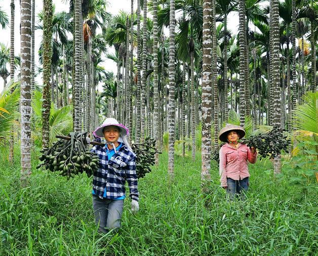 万宁加大槟榔产业扶持 稳定